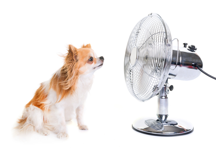 chihuahua in front of fan